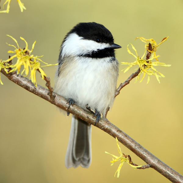 Black-capped Chickadee by Brian Lasenby, Shutterstock