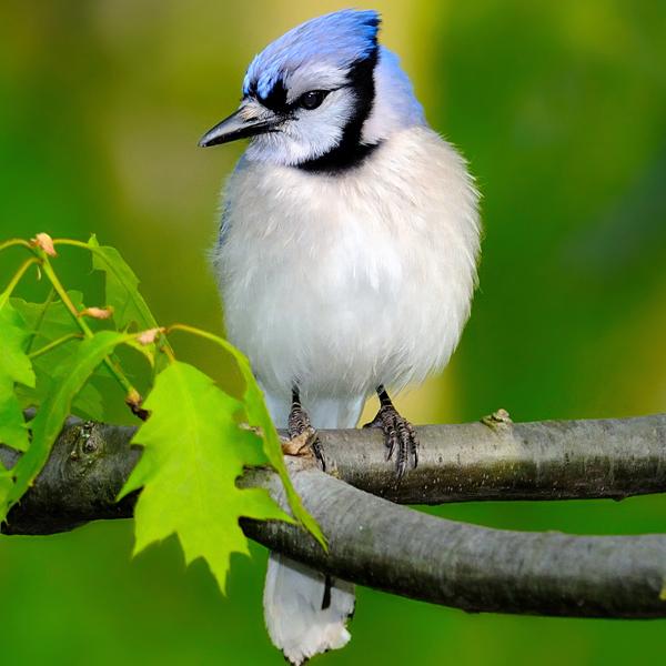 Blue Jay by Civdis, Shutterstock.