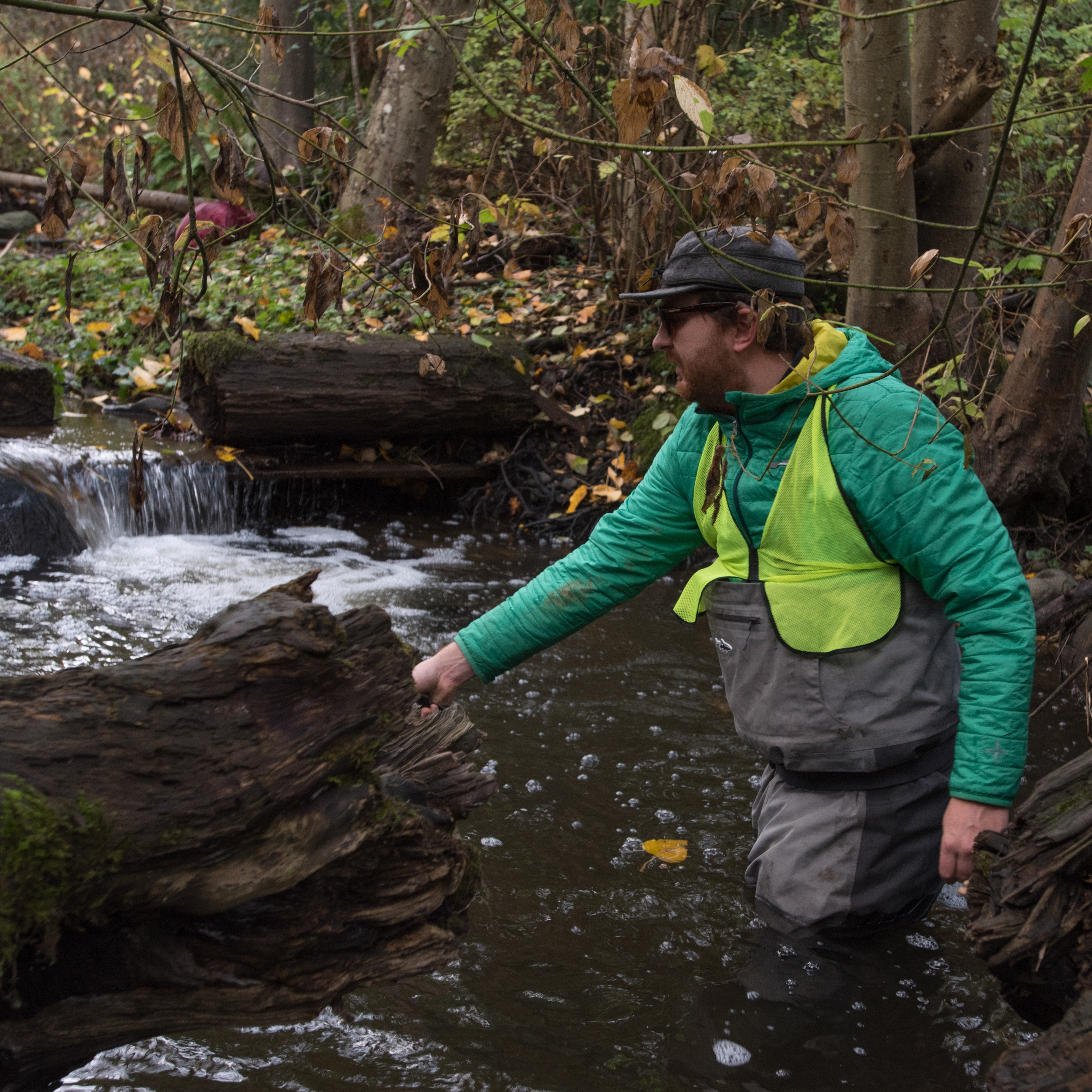 A volunteer in waders looks for salmon in Longfellow Creek.