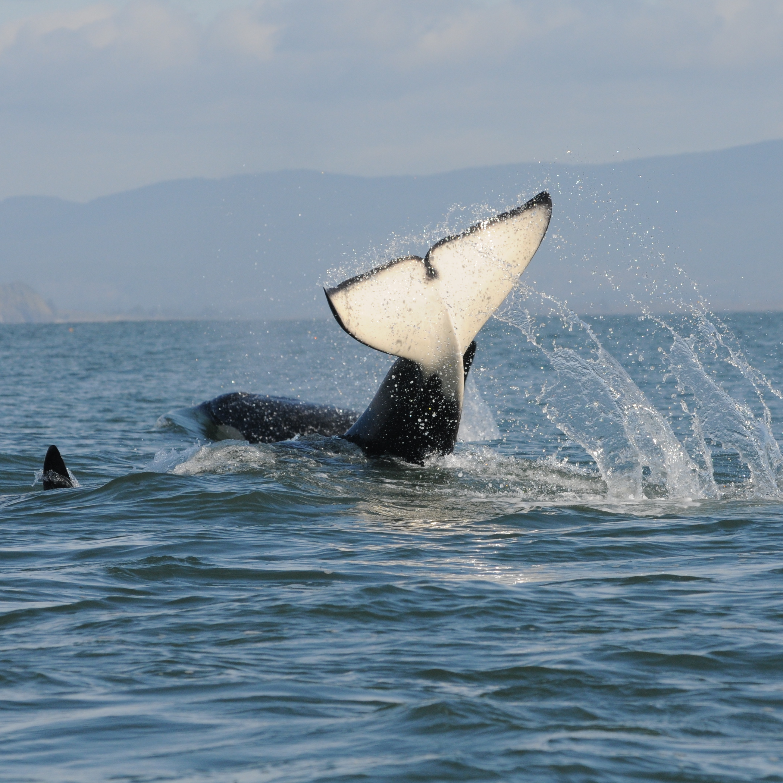An orca flips its tail in the air. Photo by Candice Emmons/NOAA Fisheries.