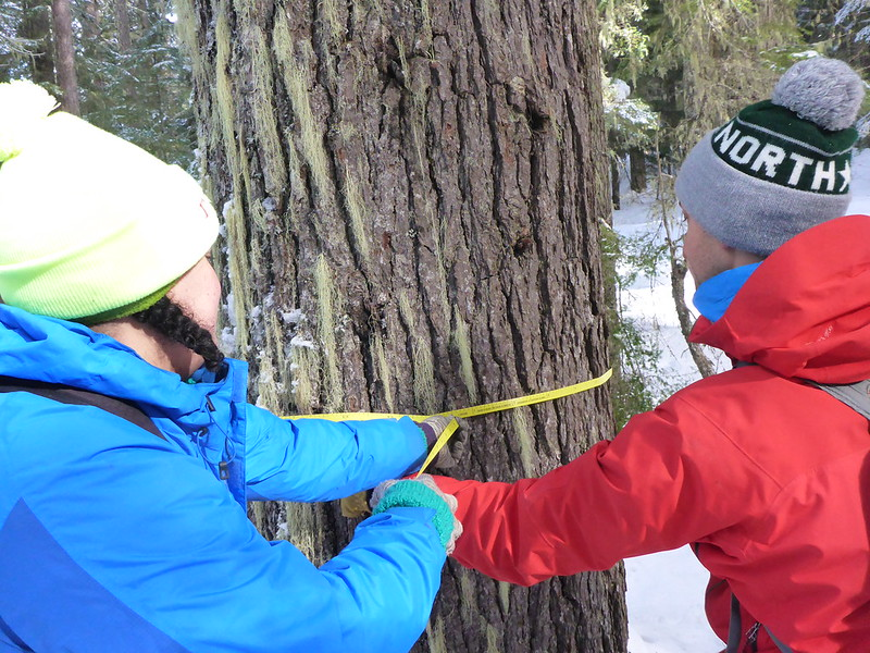 two volunteers measuring the circumference of a large tree trunk in a field survey